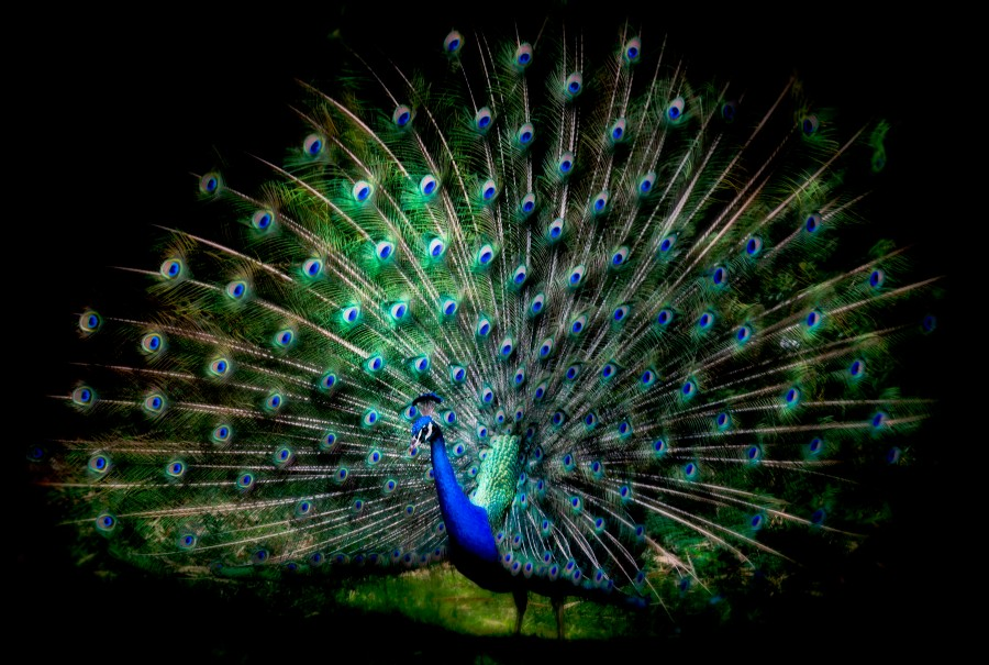 Joe'sPeacock