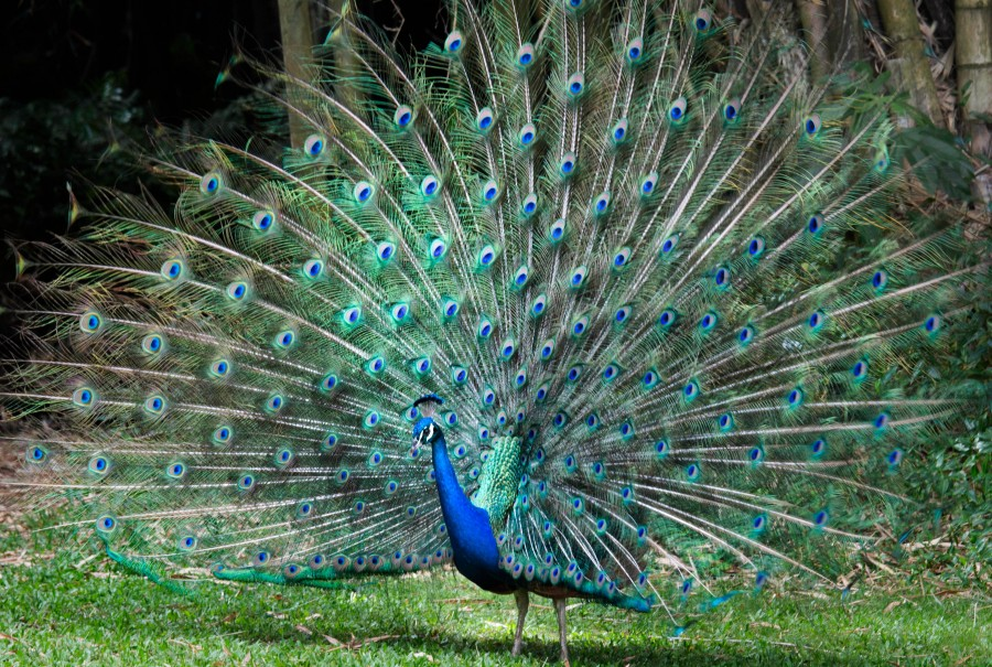 Joe'sPeacock-BAL