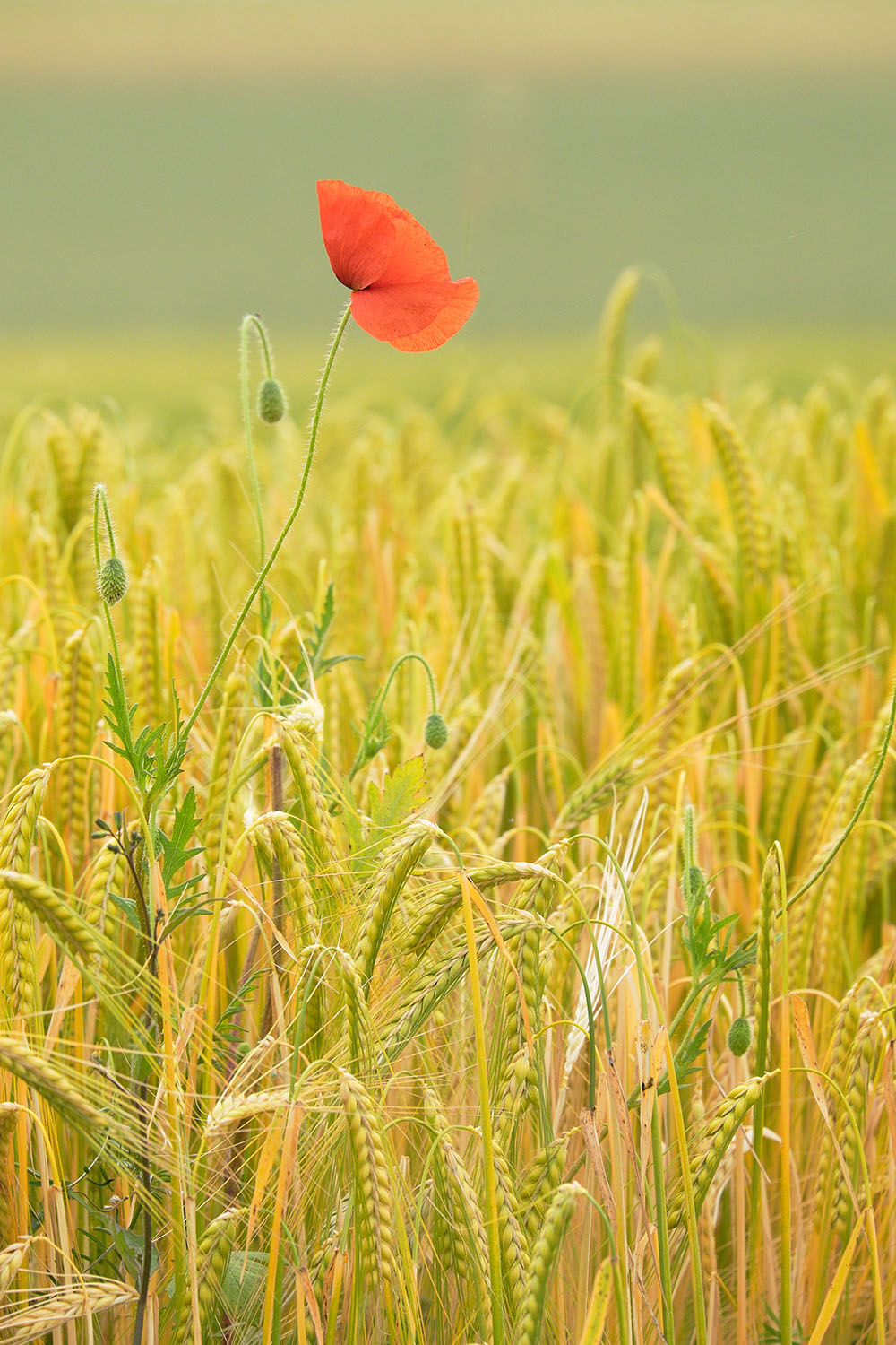 Grains&Poppy