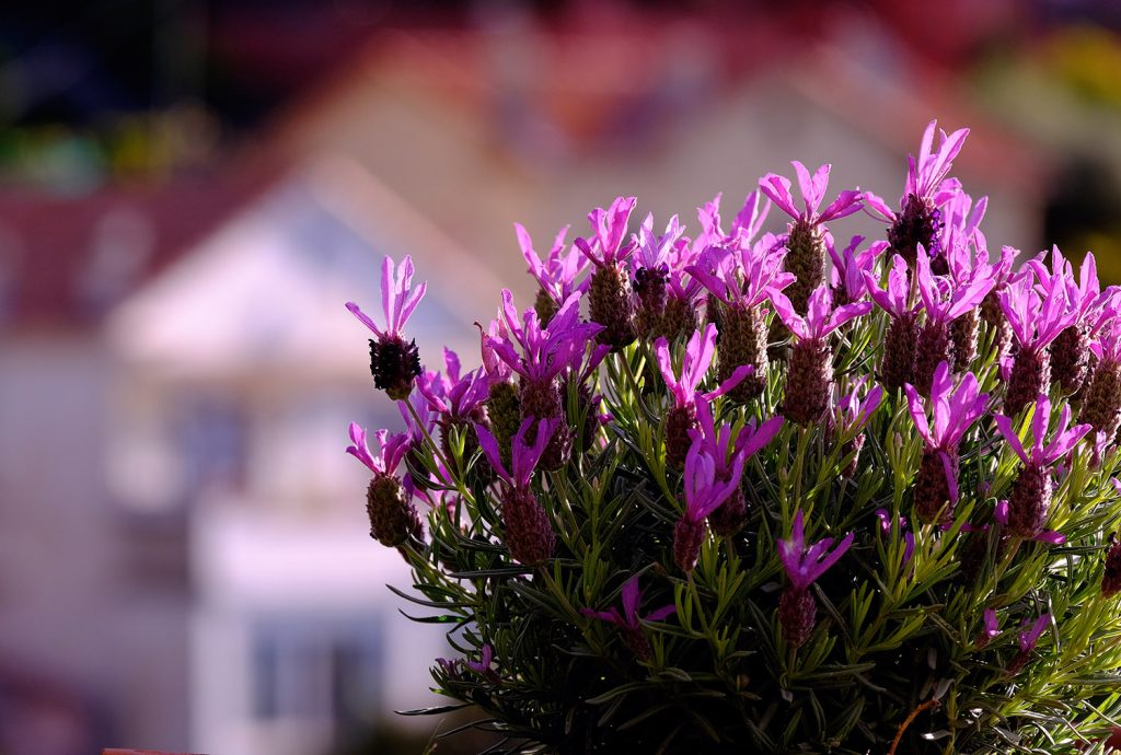 FrenchLavenderInProvence