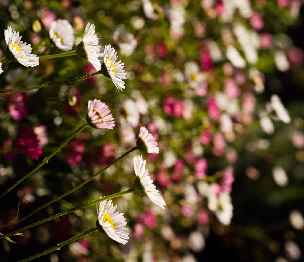 Skylark_Flowers