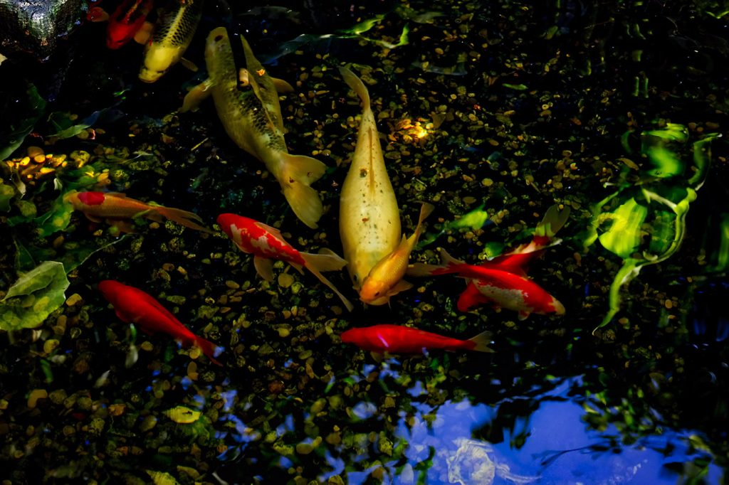 Skylark_Goldfish